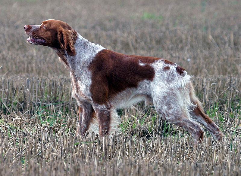 El Épagneul Bretón, una raza idónea para la caza en minifundios