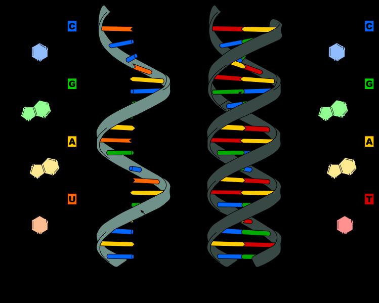 Diferencia entre el ARN y el ADN