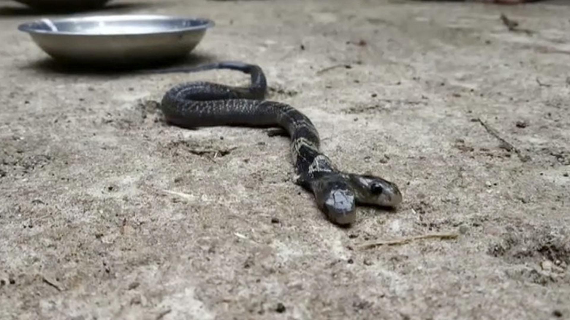 La serpiente de dos cabezas que es venerada como una diosa en India